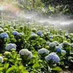 Vườn hoa cẩm tú cầu hơn 36.000 cây